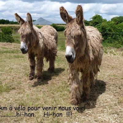 Baudets du Poitou